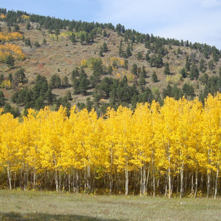 Quaking Aspen: Flaming Forests of Fall