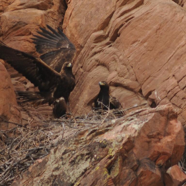 Golden Eagles Among Us