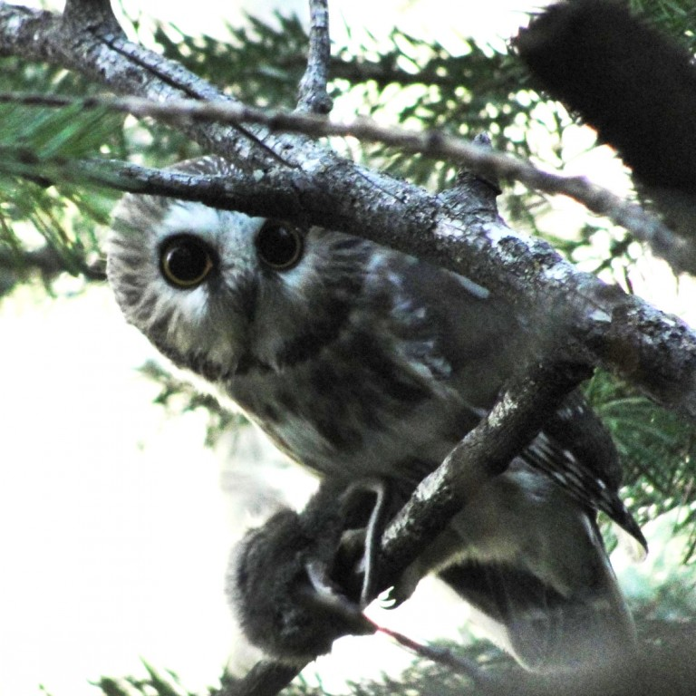 Owls at Home in Winter