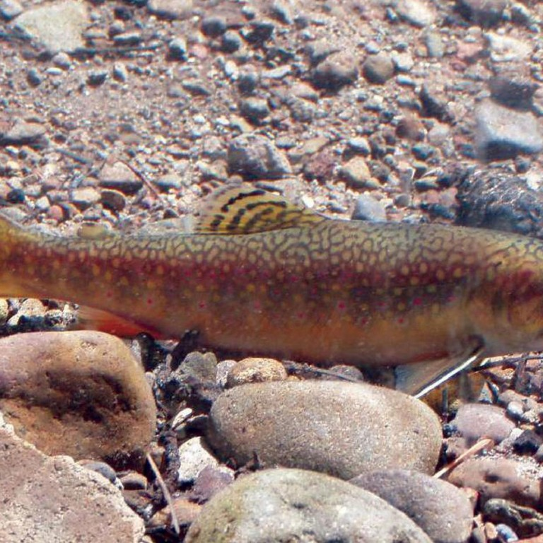 Prospecting for Gold: Brook Trout in Boulder County