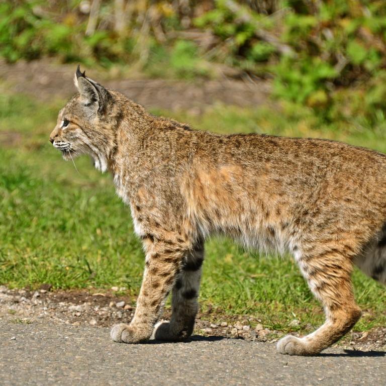 The Ubiquitous Bobcat