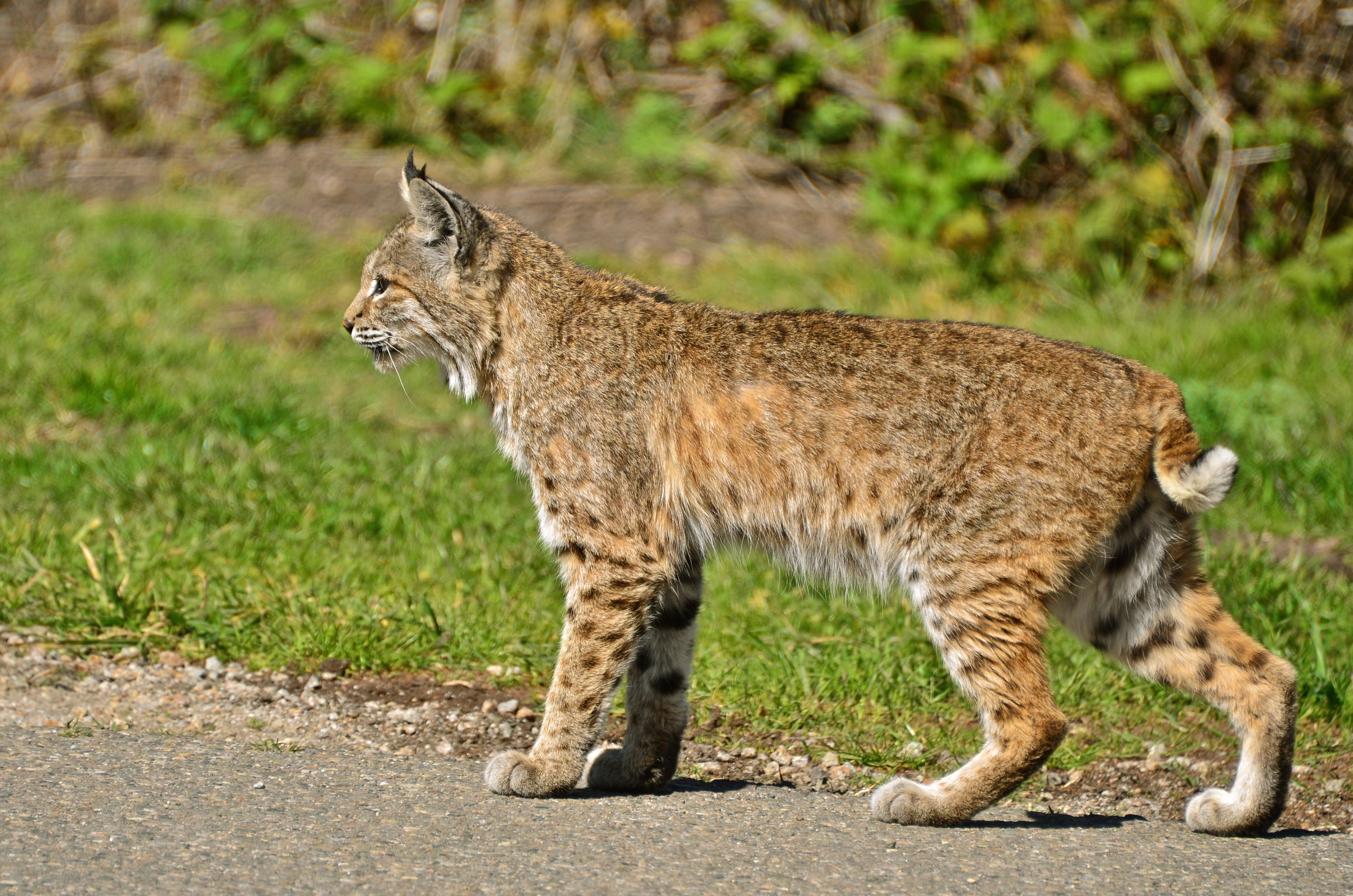 bobcat research paper Status of the bobcat in illinois final report federal aid project w-126-r-7 submitted by: cooperative wildlife research laboratory, siuc presented to.
