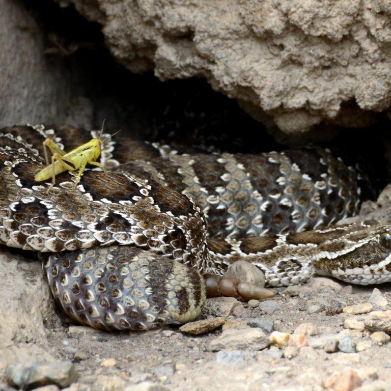 Rattlesnake Winter Dens