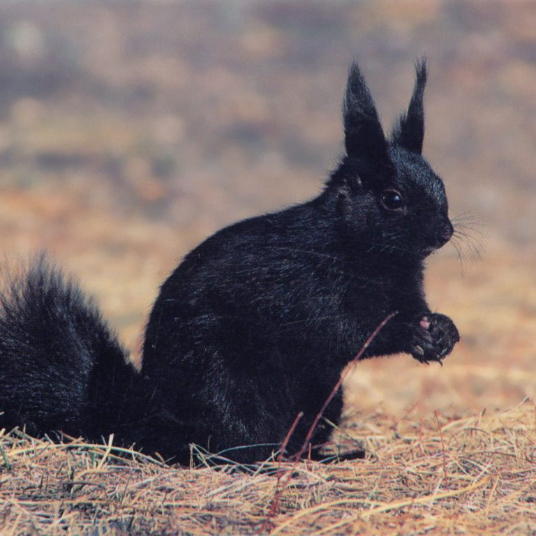 Effects of Human Recreation Activity on Abert's Squirrel and Dusky Grouse