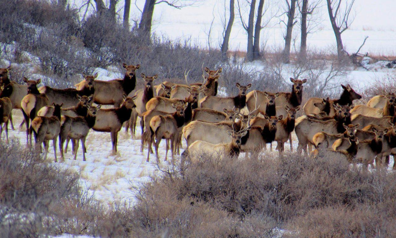 Elk & Vegetation: A Plan for Ron Stewart Preserve at Rabbit Mountain