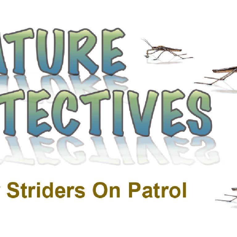 Water Striders On Patrol