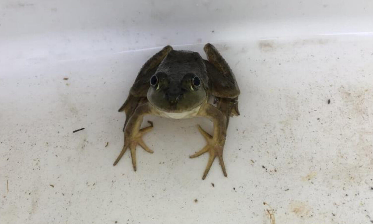 Research: Bullfrogs