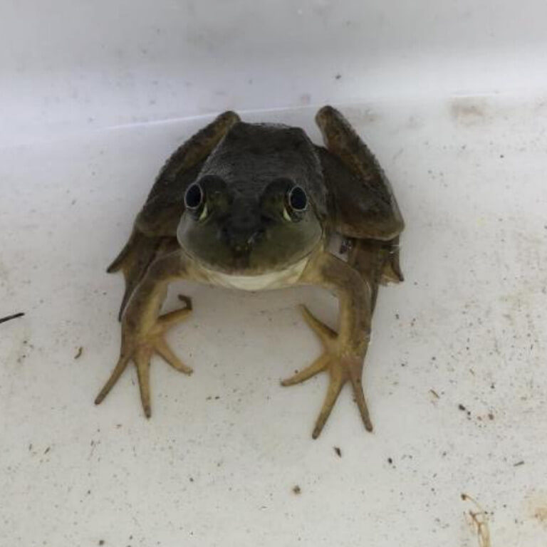 Research: Bullfrogs