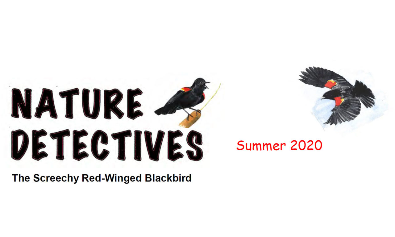 The Screechy Red-Winged Blackbird