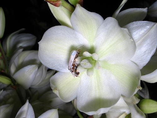 Yucca and moth