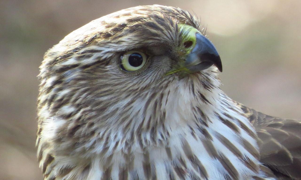 Cooper's Hawks: Little Birds, Beware!