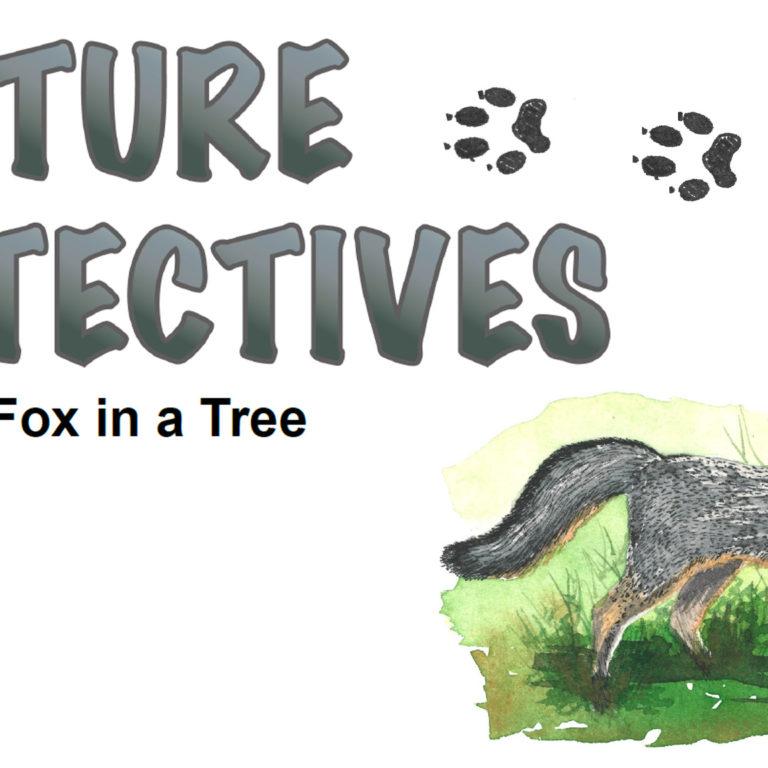 A Gray Fox in a Tree