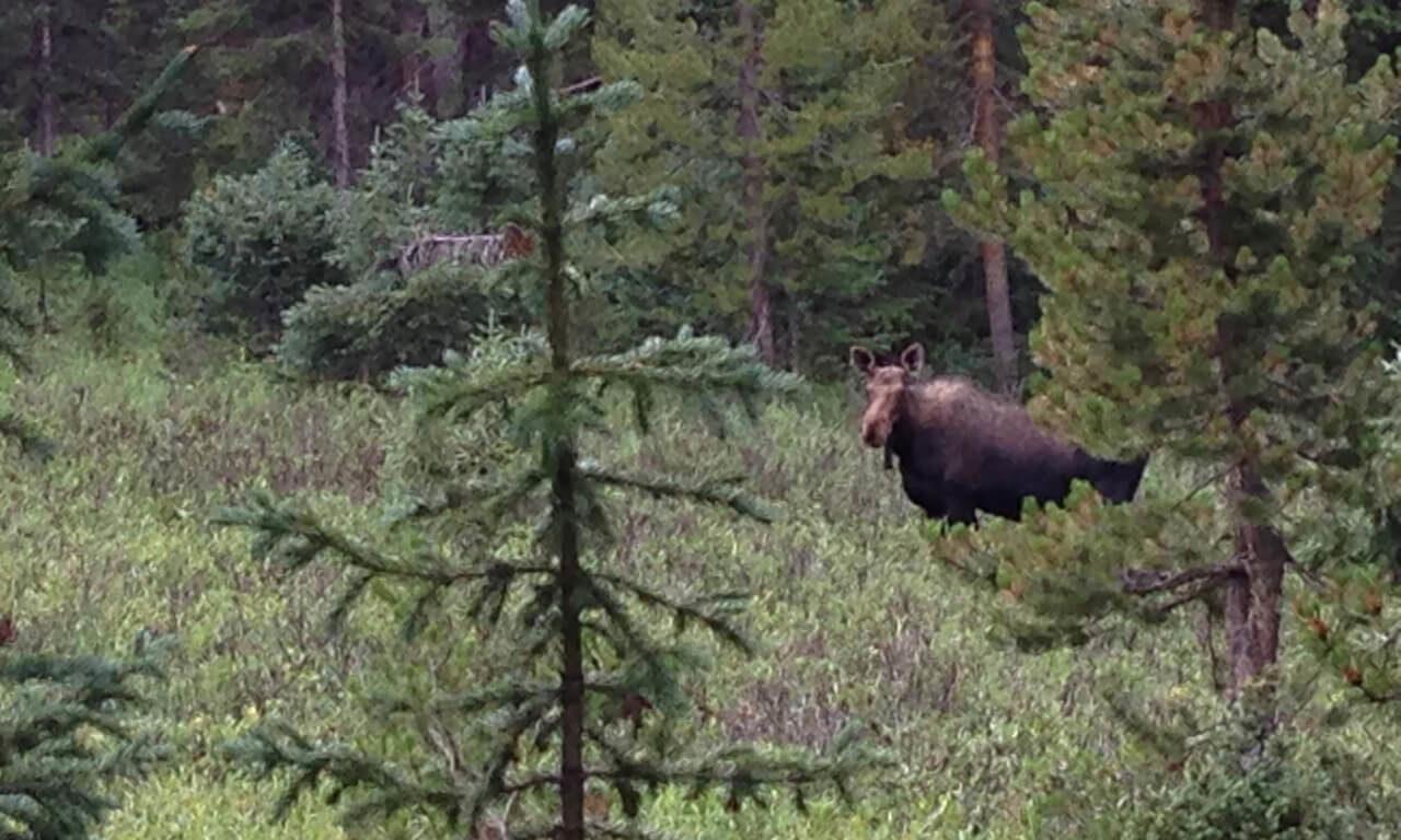 Moose: Not-So-Close Encounters