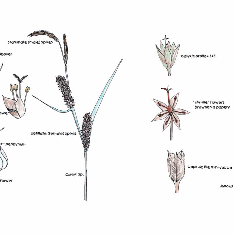 Wetland VIPs—Very Important Plants