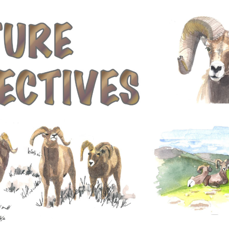 Bam! Fall Is Ramming Time for Bighorn Sheep