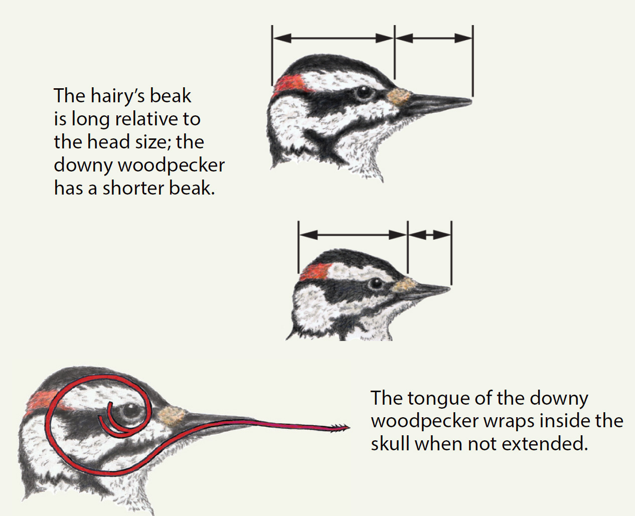 Woodpecker diagram