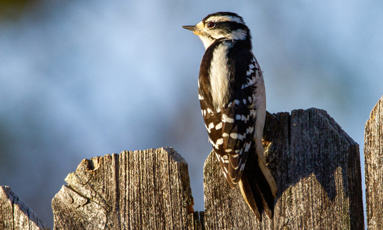 Our Smallest Woodpecker